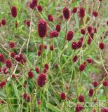 "Trvalka - Sanguisorba officinalis ""Red thunder"""