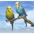 Dely Exotické vtáctvo